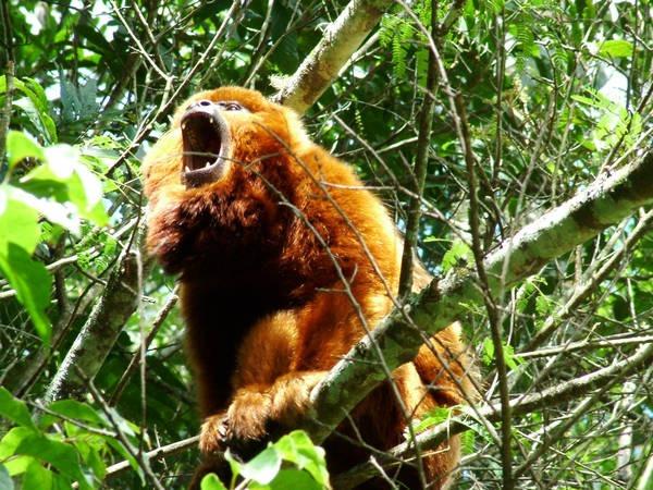 6- O macaco bugio
