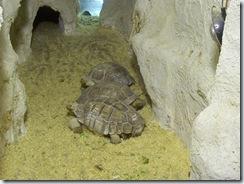 2011.11.25-005 tortues sillonnées
