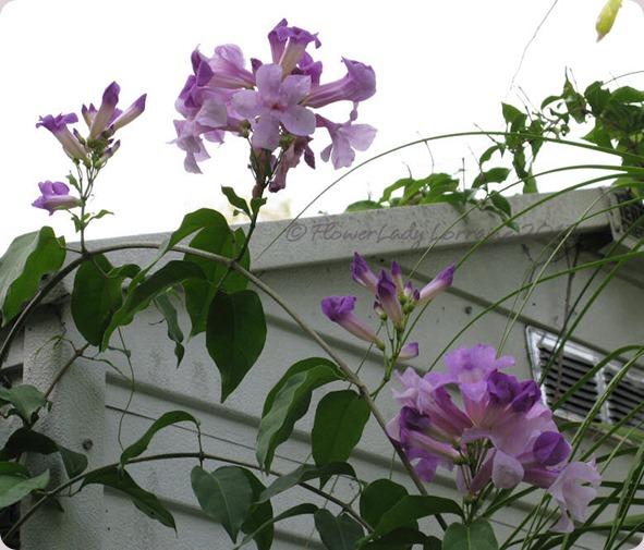 06-13-garlic-vine-blooms