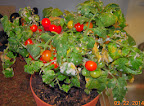 14 week potting mix dwarf tomatoes - harvesting left plant, not yet right plant