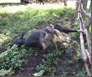 Dead Cow 2