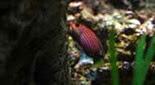Biodiversité labre nain à six bandes