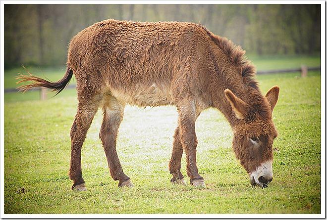mule-public-domain-picture (8)