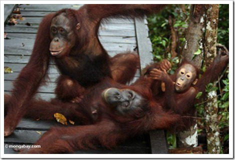 orangutan island socializing Equal Money