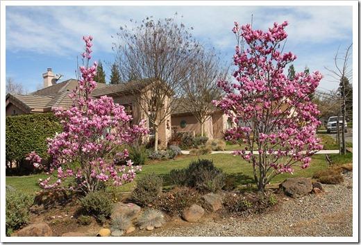 120222_Magnolia-liliiflora2