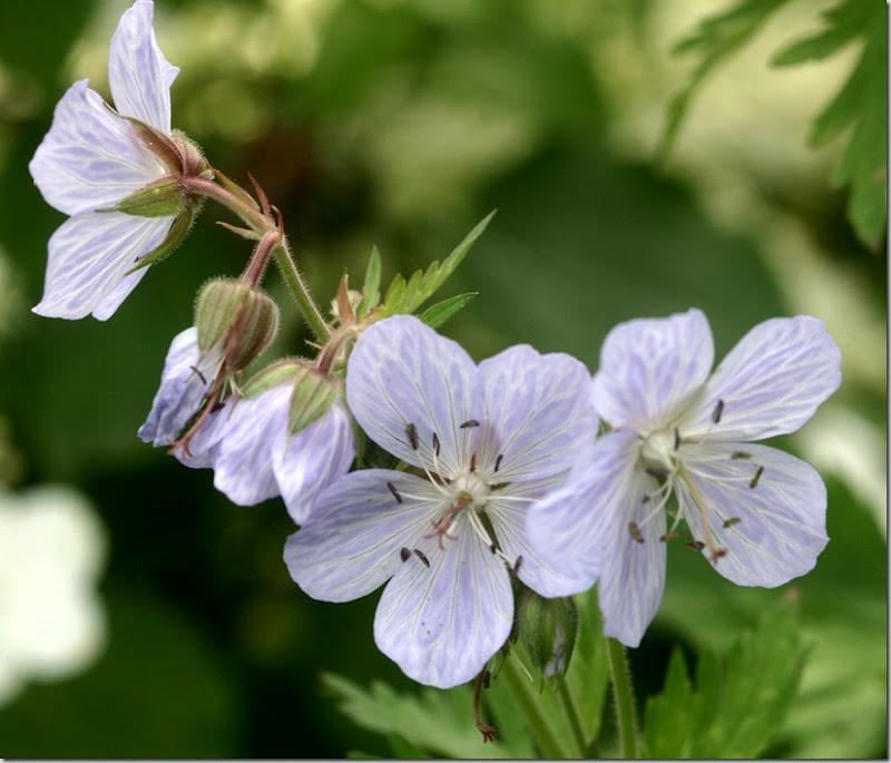 Geranium lyslys lilla