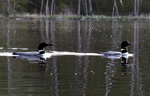 First loons of the year on Little Sugarbush. Usually appear once ice is off but coming a few days later this year.