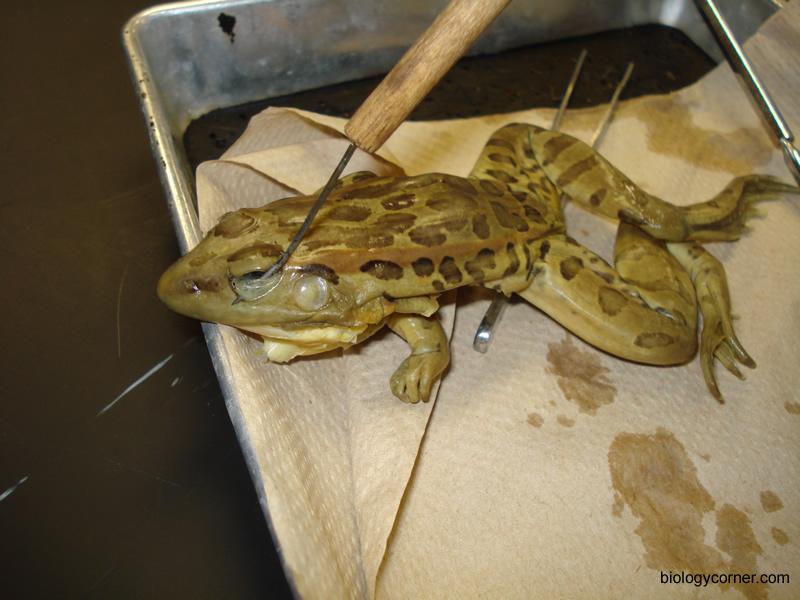 Frog dissection worksheet biology corner