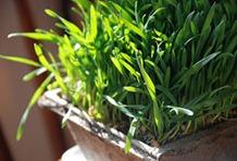 Wheatgrass(วีทกราส)
