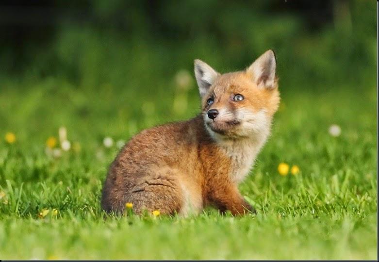 Fox Cub_5233
