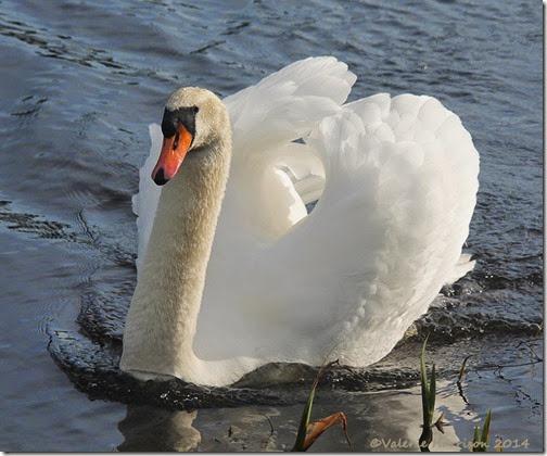 4-swan