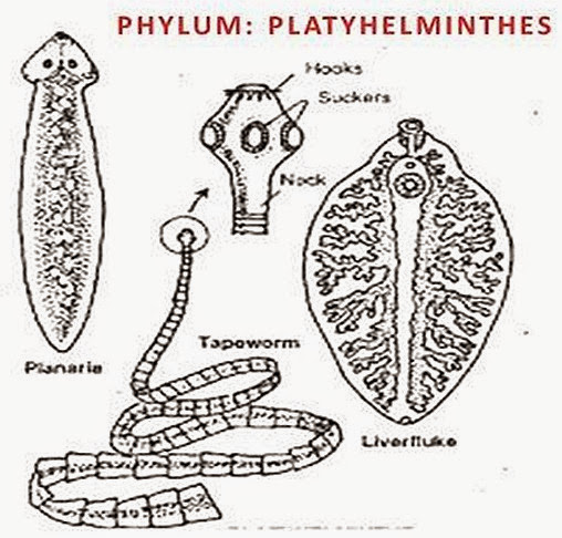 phylum-Platyhelminthes