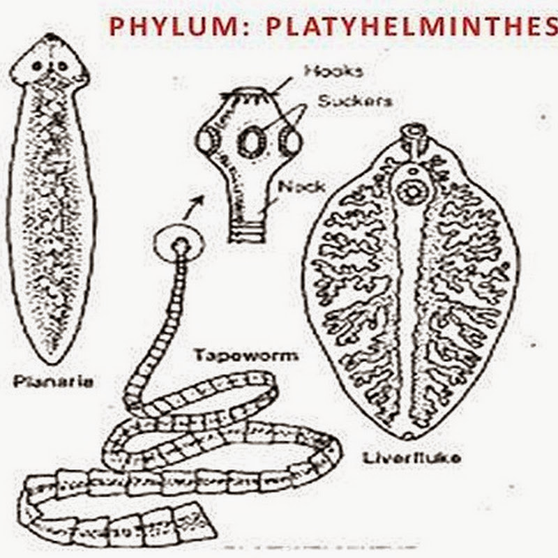 Phylum Platyhelminthes Characteristics Biozoom