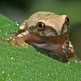 Holding On by David Knox-Whitehead - Animals Amphibians ( water, frog, amphibian, leaf, droplets )