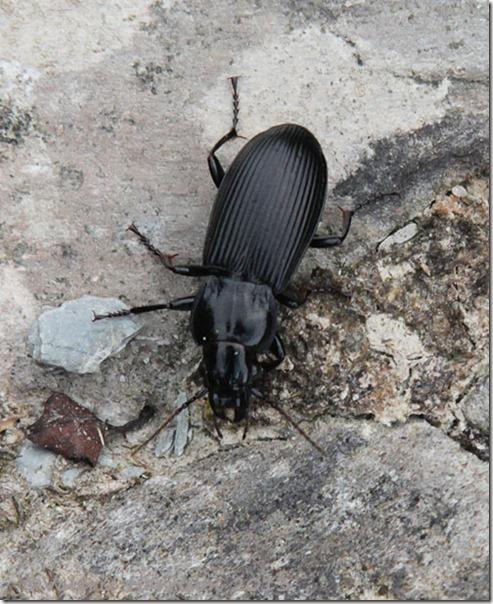 23-beetle Pterostichus niger
