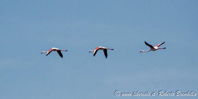22_2014-05-21_Fenicottero_Delta Po (10)