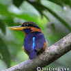 Rufous-Collared Kingfisher-02.jpg