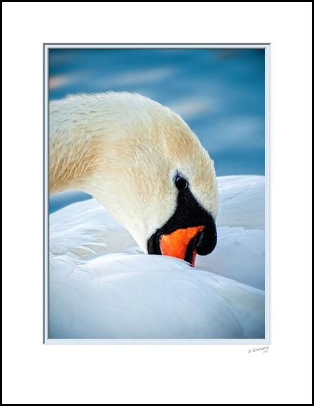 P1410186A-Swan-17x22inch-Print