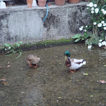 ducks in kyoto in Kyoto, Kyoto, Japan