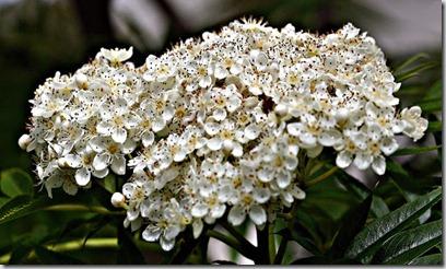 dodong blomst