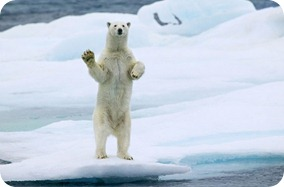Waving-polar-bear-in-Arctic-greeting-2-500x329