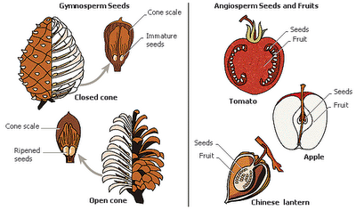 Difference between Gymnosperms and Angiosperms | Major Differences