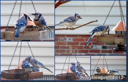 Blue Jay Collage