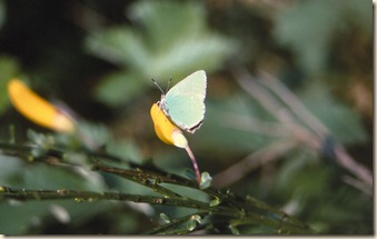 Green hairstreak, Sedlescombe Heath