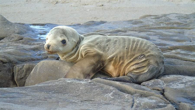 An emaciated sea lion pup on the California coast. IN 2014 and 2015, hundreds of emaciated sea lion pups have turned up along the California coast in what could be one of the worst stranding events on record. Photo: NOAA