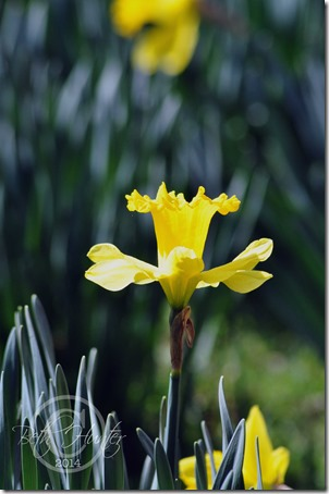 cr-up-daffodil-wb-3342-