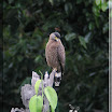 Crested Serpent-Eagle --- Spilorniis cheela_01.jpg