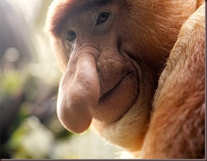 Amazing Pictures of Animals photo Nature exotic funny incredibel Zoo Proboscis monkey, long-nosed monkey, mammalia.Alex (10)