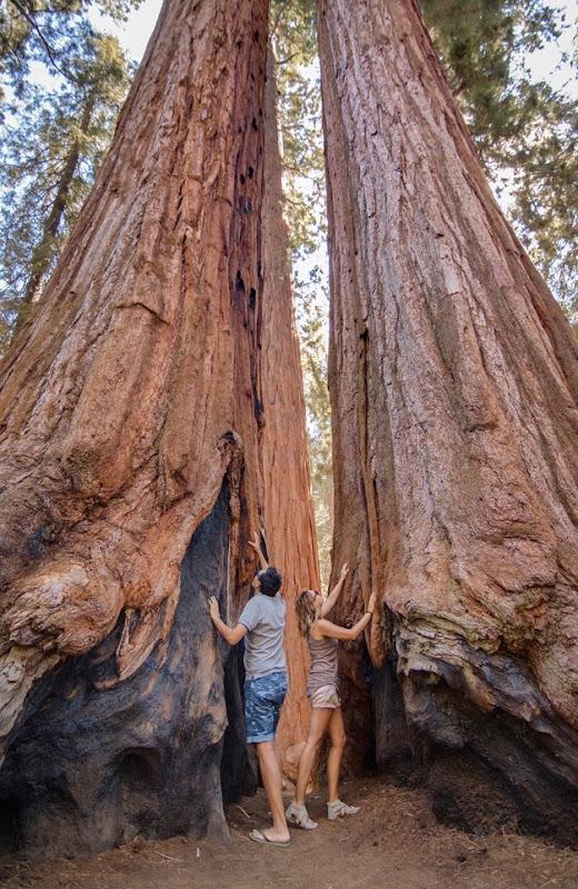 sequoie (2)