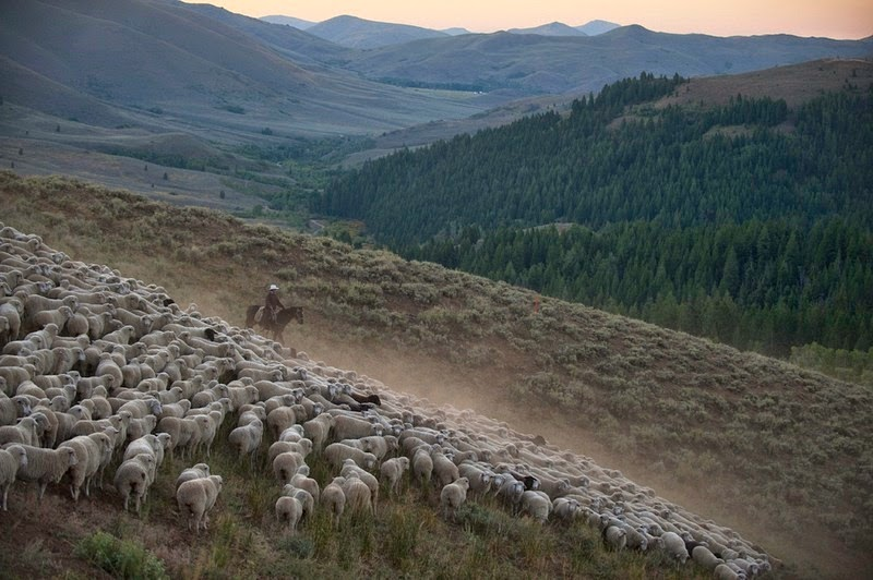 trailing-of-the-sheep-6
