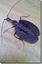 serangga sungai sedim