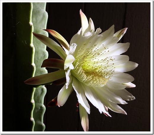 110816_Cereus-hildmannianus-subsp-hildmannianus-3-flowers_18