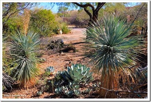 131202_StarrNurseryTucson_Yucca-rostrata_003
