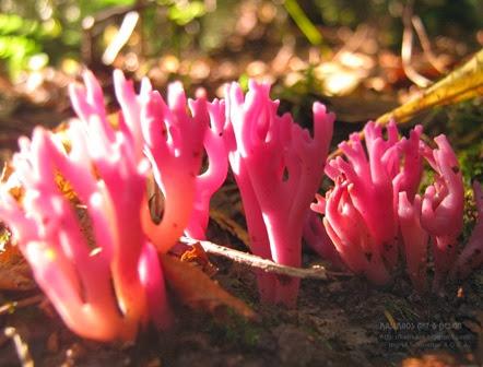 violet-branched-coral