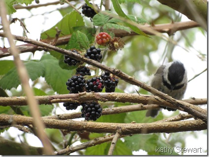 Black Cap Chickadee eating Blackberries