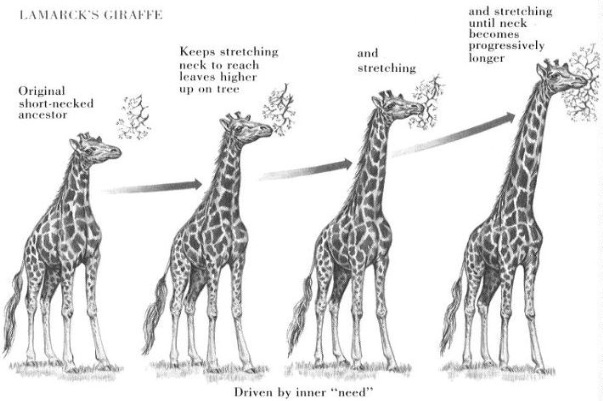 Evolution of long neck in giraff as per use and disuse of organs