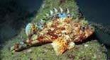 Méditerranée anfractuosité rocheuse rascasse brune