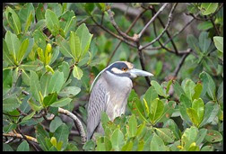 00h2 - Animals - Yellow Crown Night Heron
