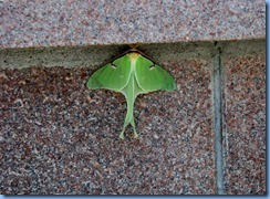 7988 Ontario Trans-Canada Highway 17 (TC-11) Thunder Bay - Terry Fox Scenic Lookout - rare sighting of a Luna Moth