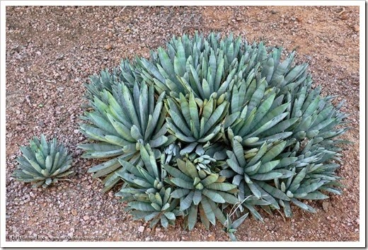 Agaves at the Desert Botanical Garden (M—Z)