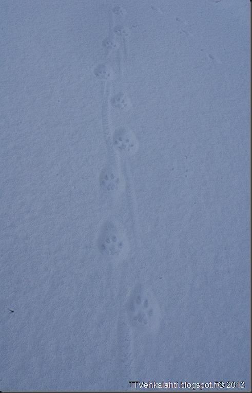 ilves tassujälki lumessa finpyyntie  kimaluskuvia 101