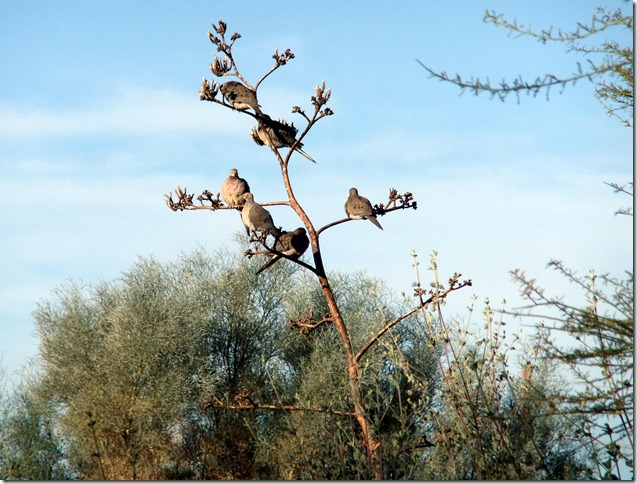 6 Doves in an Agave 12-3-2012 8-59-23 AM 2904x2202