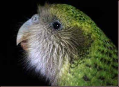Amazing Pictures of Animals photo Nature exotic funny incredibel Zoo Kakapo birds Aves. Alex (9)