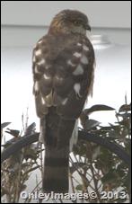 hawk side (4)