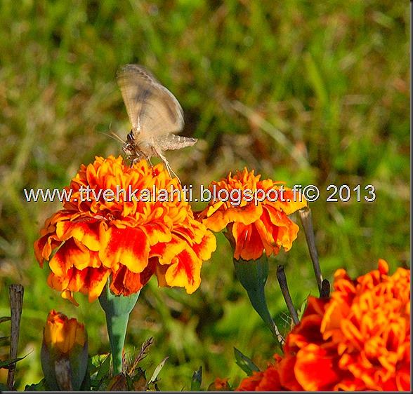 perhonen  sudenkorentoja 007