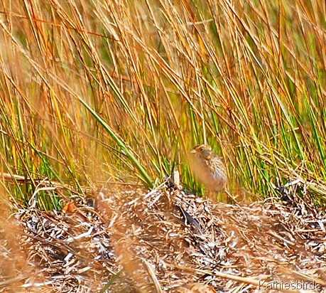 16. Saltmarsh sparrow-kab